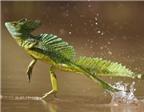 Những loài có khả năng kungfu trên mặt nước