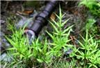 Bài thuốc chữa bệnh từ cỏ seo gà