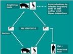 Chim, lợn và muỗi: Nguyên nhân chính gây bệnh viêm não Nhật Bản