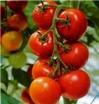 Ăn cà chua ngừa đột quỵ