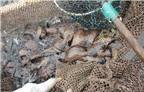 Đệ nhất đặc sản biển: Cá... song chuột trên đất Việt, giá bạc triệu