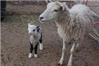 Kỳ quặc sinh vật nửa cừu nửa dê