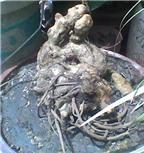 Sốc với cách nuôi ngải với lòng trắng trứng và tinh khí