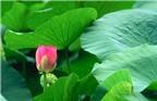 Công dụng chữa bệnh ít biết của lá và hoa sen