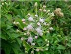 Bài thuốc chữa viêm xoang hiệu quả bằng hoa ngũ sắc