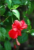Bài thuốc quý từ hoa dâm bụt đẩy sỏi thận ra ngoài không cần mổ