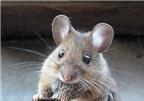 Những dấu hiệu cần theo dõi sau khi bị chuột cắn, BS ơi?