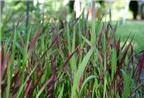 Rễ cỏ tranh: Vị thuốc quý giải độc gan, bổ thận