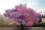 Úc phát hiện loài cây có thể tiêu diệt khối u ung thư