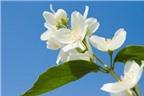 Làm đẹp đơn giản với hoa nhài