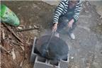 Trung Quốc: Dùng phân bò sắc uống