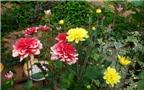 1001 cách làm ăn: Trồng hoa thược dược đón Tết