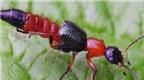 Cách nhận biết và phòng chống kiến ba khoang