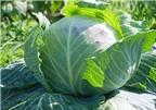 Công dụng chữa bệnh kỳ diệu của bắp cải