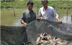 Nuôi cá trên ruộng lãi cao, ít dịch bệnh