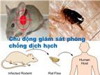 Cách phòng chống dịch hạch