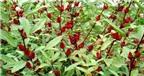 Công dụng chữa bệnh tuyệt vời của hoa atiso đỏ
