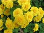Những phương thuốc chữa bệnh từ hoa cúc