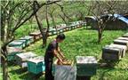 Bí quyết bắt và thuần dưỡng ong rừng