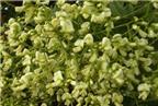 Hoa hòe - Vị thuốc quý chữa bệnh