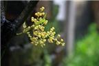 Tác dụng chữa bệnh của hoa ngâu