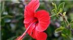 Công dụng chữa bệnh của hoa dâm bụt mà bạn không ngờ tới