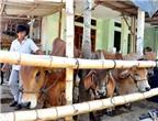 Bỏ bò sữa nuôi bò thịt