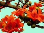 Hoa gạo chữa bệnh
