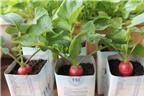 Trồng củ cải đỏ vừa làm đẹp nhà, vừa nhanh thu hoạch