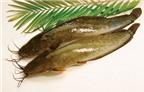 Công dụng chữa bệnh không ngờ từ cá trê