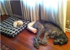 Những chú chó không hiểu mình to lớn như thế nào