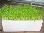 Kỹ thuật trồng rau sạch bằng phương pháp thủy canh