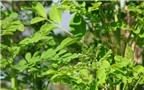 Rau chùm ngây: Giá trị dinh dưỡng và cách dùng