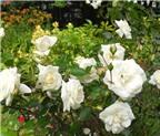 Hoa hồng trắng (hồng bạch) có tác dụng chữa những bệnh gì?