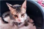 Chế thuốc chống ung thư từ phân mèo