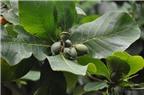 Công dụng chữa bệnh từ cây bàng