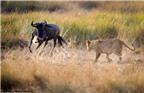Bài học săn mồi tàn khốc mà sư tử cái dạy con