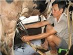Giàu lên nhờ nuôi bò sữa