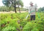 Tìm hiểu cách chăm sóc và thu hoạch cây đinh lăng