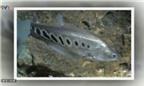Đặc sản cá thác lác cườm quý ở Hậu Giang