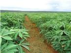 Kinh nghiệm trồng sắn cho năng suất cao ở địa phương