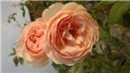 Trồng và chăm sóc hoa hồng đơn giản ngay tại nhà