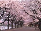Người Nhật háo hức đón lễ hội hoa anh đào