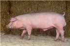 Dùng mật lợn chữa bệnh trĩ?