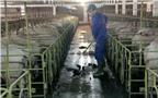 """Bí quyết của trang trại lợn gần chục năm """"miễn nhiễm"""" với dịch bệnh"""