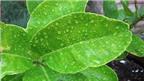 Công dụng chữa bệnh thần kỳ từ lá chanh