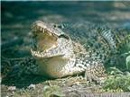 Thụy Điển giúp Cuba bảo tồn loài cá sấu có nguy cơ tuyệt chủng