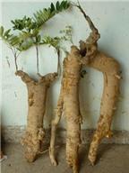 Giá trị chữa bệnh của cây mật nhân