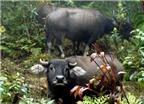 Độc đáo những cuộc săn trâu trong rừng