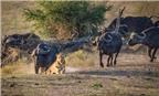[Photo] Sư tử nhận bài học nhớ đời khi lao vào giữa đàn trâu rừng